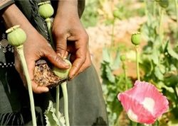 Виявлено та знищено 250 рослин снотворного маку