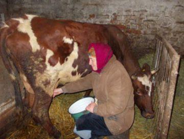 Жашківчани виконали річну програму розвитку галузі молочного скотарства