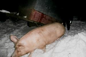 Вогнеборці врятували з палаючої будівлі 15 свиней